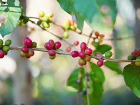 コーヒーという農産物の話。