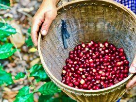 『ミャンマーの庭先コーヒー』 が仲間入りしました!